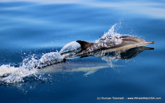 Whale watching boat based tours Gansbaai South Africa Wildlife encouunters (10)