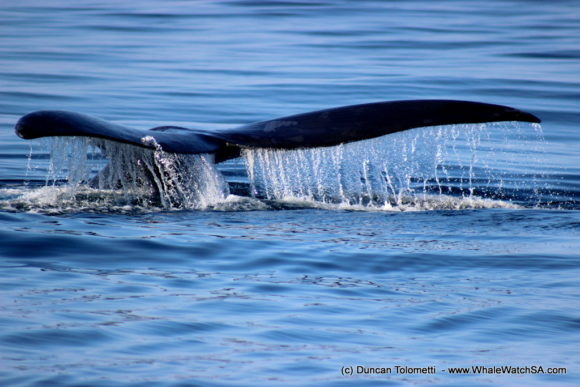 Whale watching boat based tours Gansbaai South Africa Wildlife encouunters (12)
