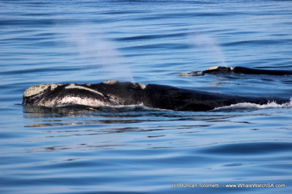 Whale watching boat based tours Gansbaai South Africa Wildlife encouunters (15)