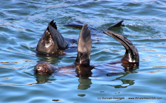 Whale watching boat based tours Gansbaai South Africa Wildlife encouunters (16)