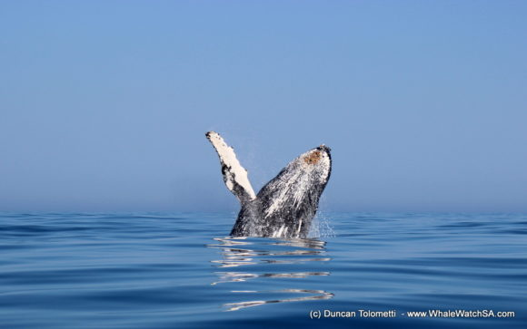 Whale watching boat based tours Gansbaai South Africa Wildlife encouunters (21)