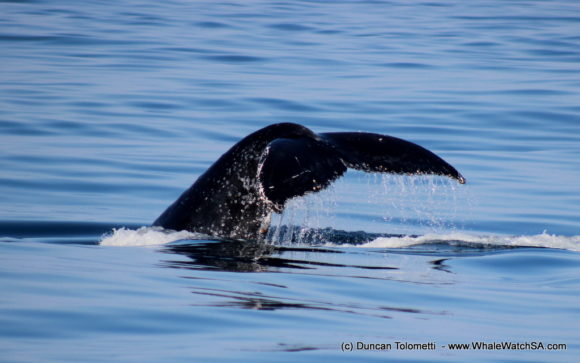 Whale watching boat based tours Gansbaai South Africa Wildlife encouunters (25)