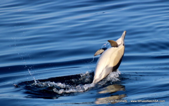 Whale watching boat based tours Gansbaai South Africa Wildlife encouunters (7)