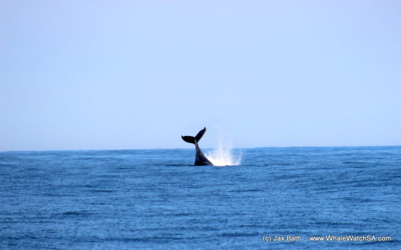Whale watching south africa boat based Gansbaai boat tours (1)