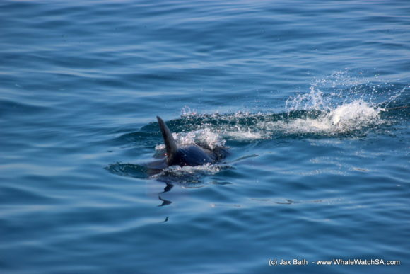 Whale watching south africa boat based Gansbaai boat tours (10)