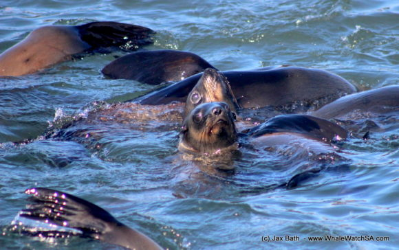 Whale watching south africa boat based Gansbaai boat tours (13)