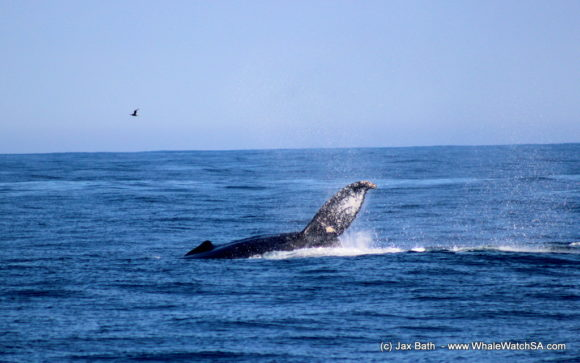 Whale watching south africa boat based Gansbaai boat tours (2)
