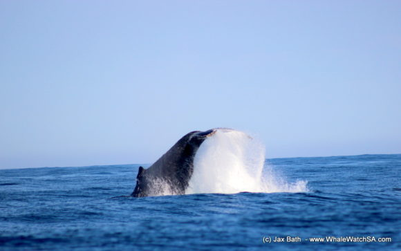 Whale watching south africa boat based Gansbaai boat tours (3)