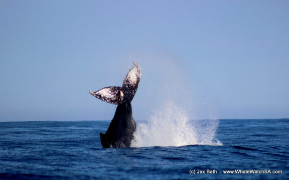 Whale watching south africa boat based Gansbaai boat tours (4)