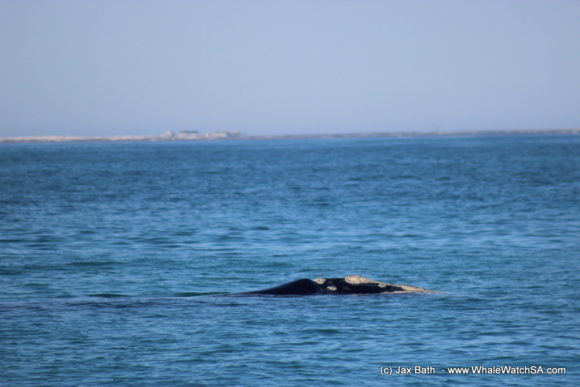 Whale watching south africa boat based Gansbaai boat tours (5)