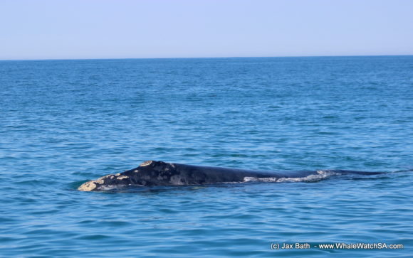 Whale watching south africa boat based Gansbaai boat tours (7)
