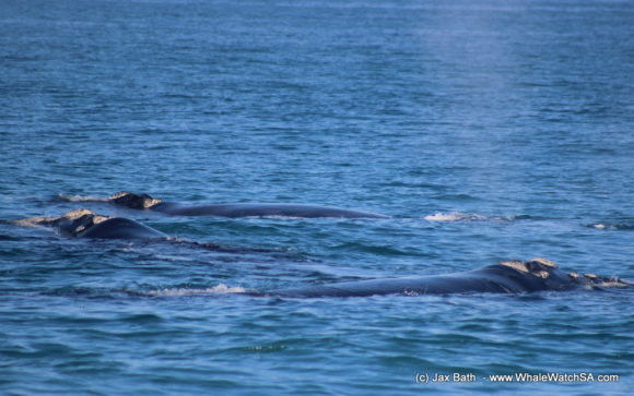 Whale watching south africa boat based Gansbaai boat tours (8)