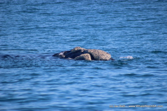 Whale watching south africa boat based Gansbaai boat tours (9)