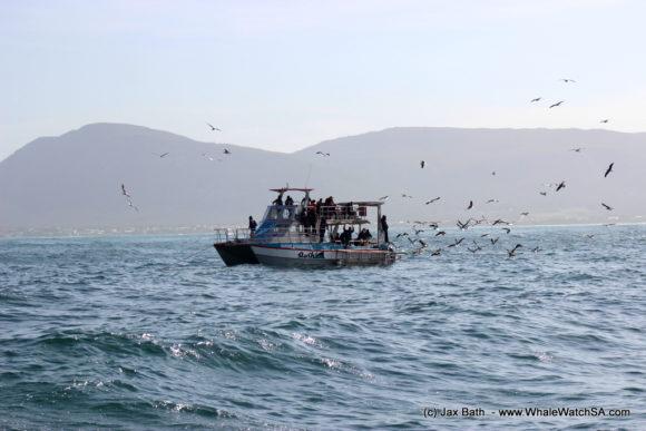 Whale watching tours Gansbaai South Africa Boat Based Marine Safari (2)