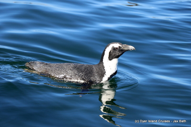 Dyer Island Marine Safari With an African Penguin Release, 18 April 2019