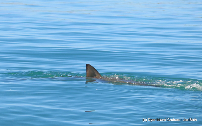 A Bronze Whaler Shark And More, 10 May 2019