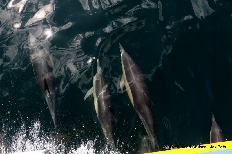 Incredible Common Dolphins And So Much More, 01 May 2019