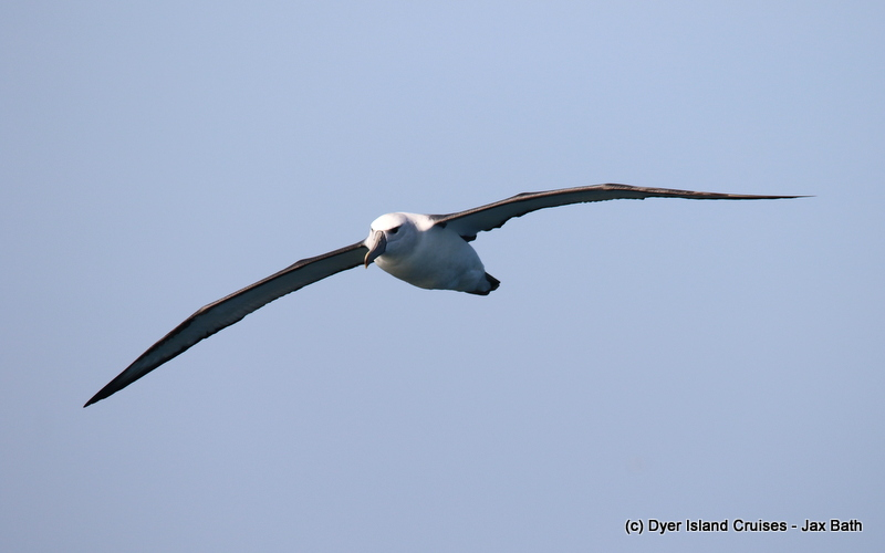 A Shy Albatross And An Adventurous Ride, 06 May 2019