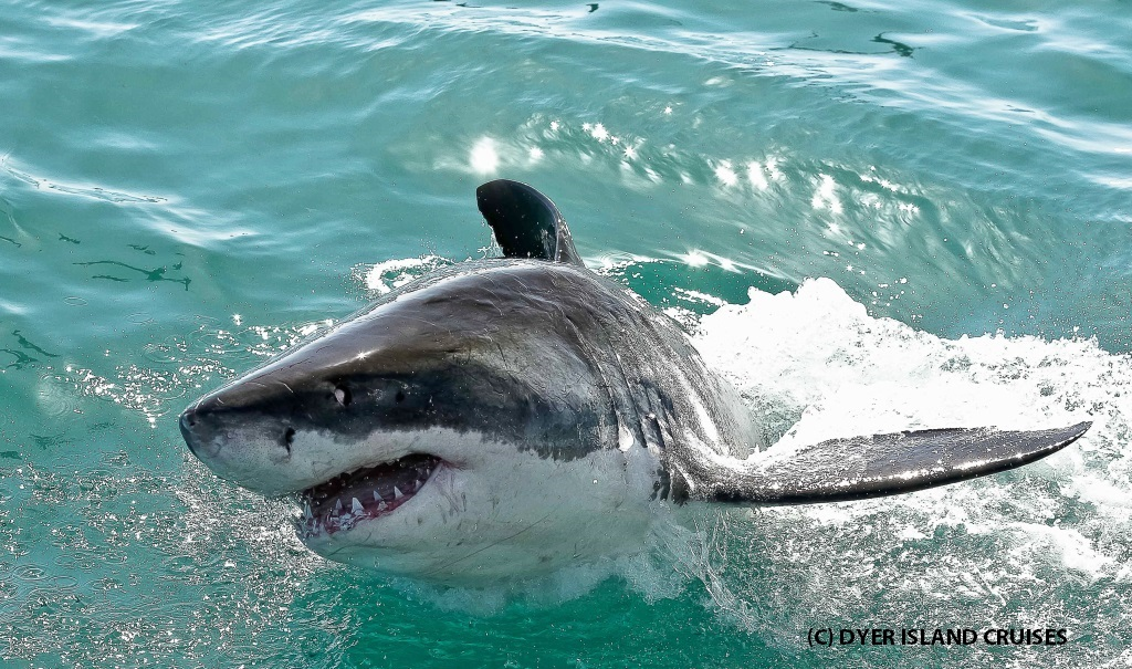 Great white sharks - Dyer Island Cruises
