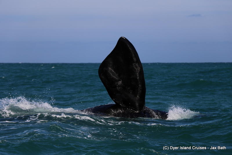 The Southern Right Whales Have Arrived, 14 July 2019