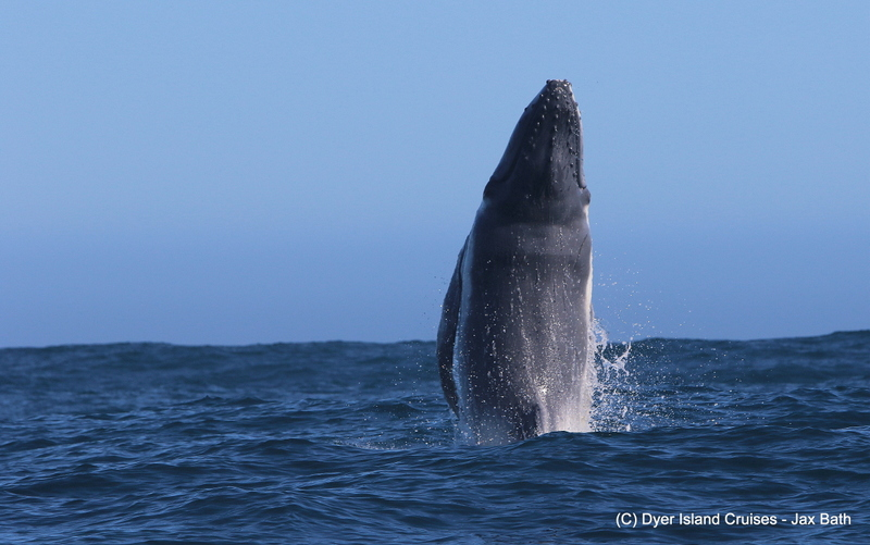 Breaching Baby Humpback Whale, 26 July 2019