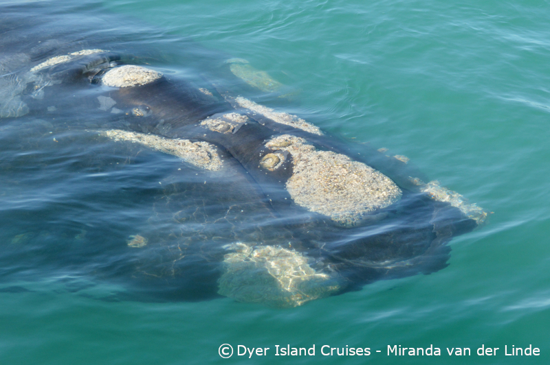 The right whale to watch, 21 August 2019
