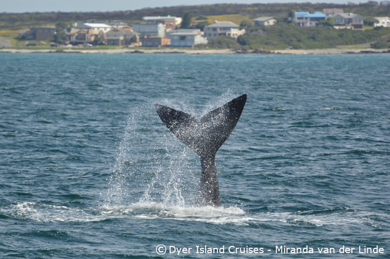 Whale tails, 11 September 2019