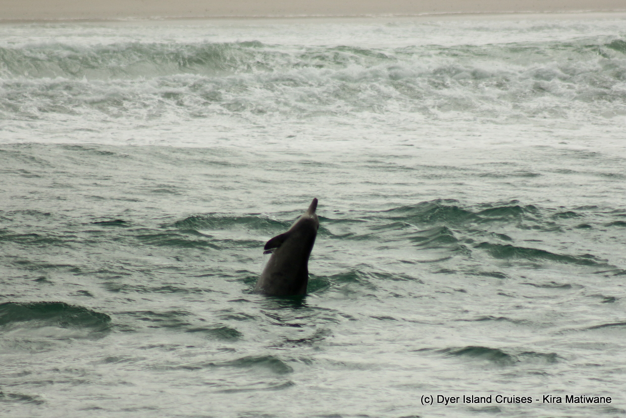 Breaching Humpback Dolphin and 4 of the Marine Big 5, January 8th 2020