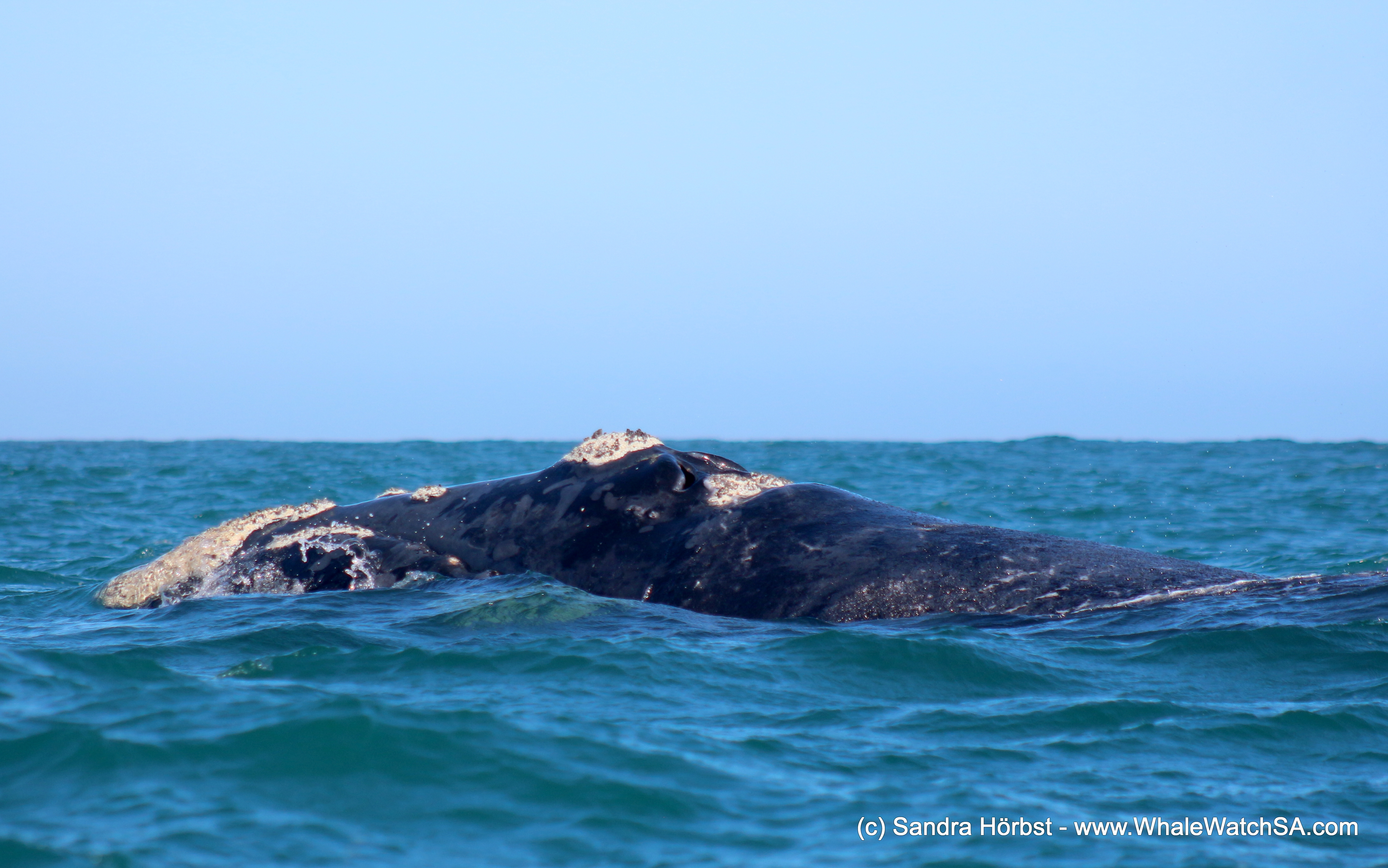 Awesome Southern Right Whales! Marine Big 5 daily blog