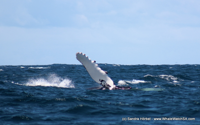 Two species of whale! Marine Big 5 daily blog