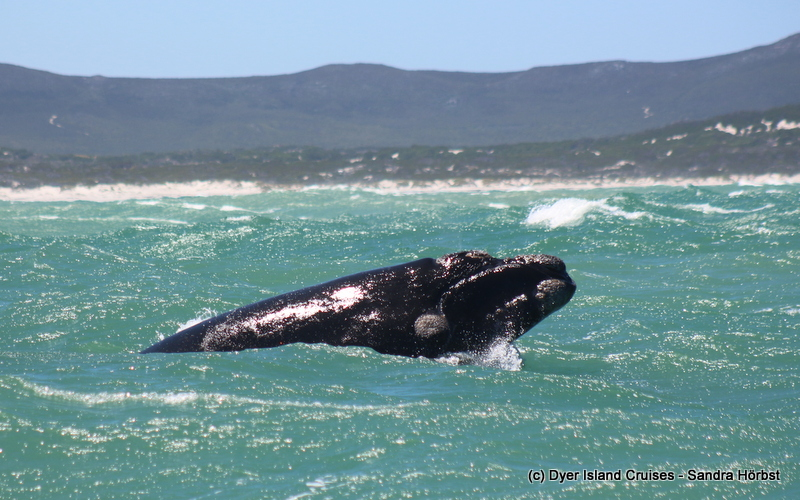 Breaching whales! Marine Big 5 Daily Blog