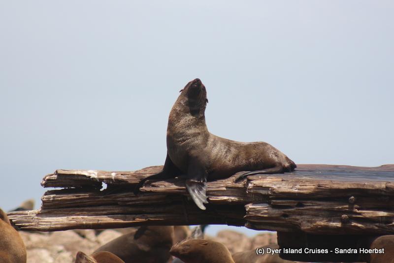 Cape Fur seals and more! Marine Big 5 Daily Blog