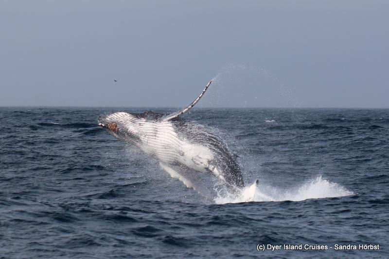 Breaching humpback whale! Marine Big 5 Daily Blog