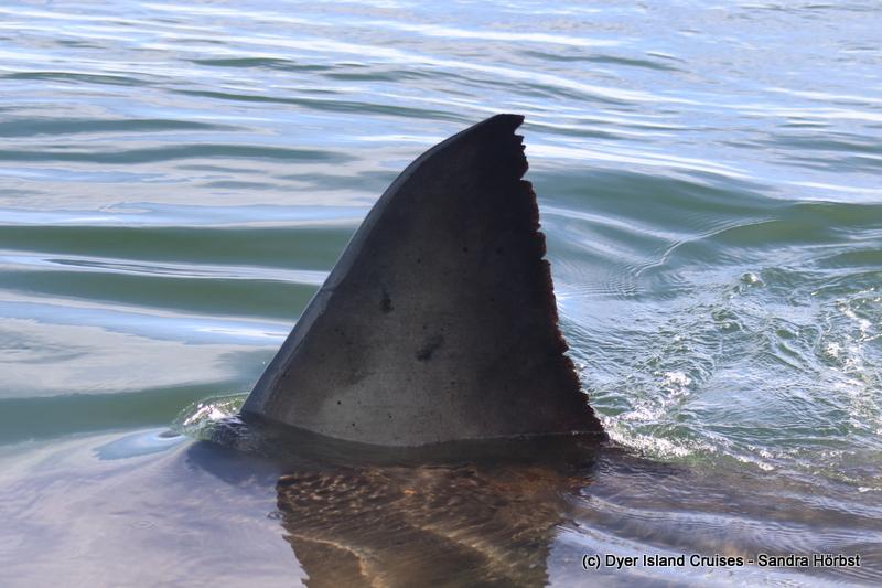 Great White Shark! Marine Big 5 Daily Blog