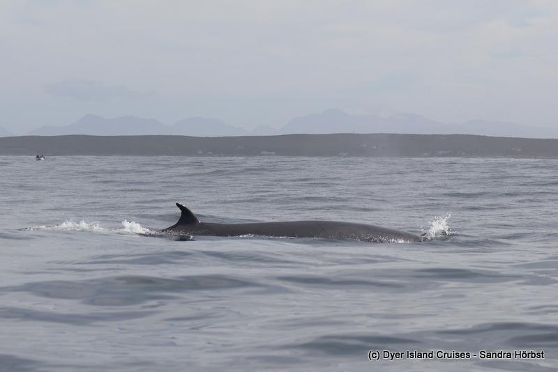 Bryde's Whale! Marine Big 5 Daily Blog