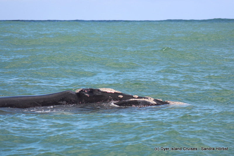 Southern right and humpback whale! Marine Big 5 Daily Blog